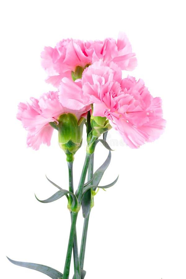 Красивые розовые цветки гвоздики стоковые фото
