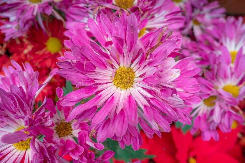 Красивые розовые цветки маргаритки для предпосылки стоковое изображение rf