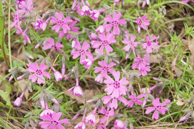 Красивые розовые цветки на цветнике на солнечный день стоковые изображения rf