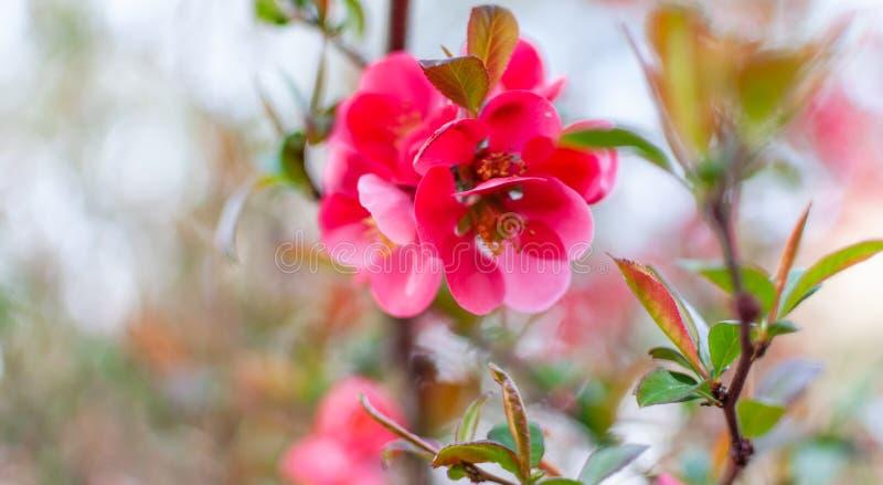 Красивые розовые цветки японской айвы стоковое изображение rf