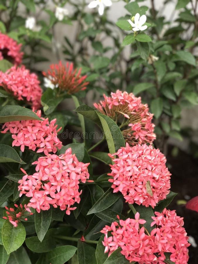 Красивые розовые цветки стоковые изображения