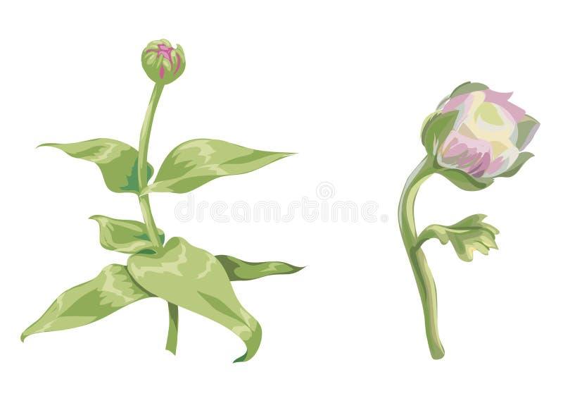 Красивые розовые цветки zinnia и пиона изолированные на белой предпосылке Unblown бутоны на стержне с зелеными листьями Ботаничес бесплатная иллюстрация