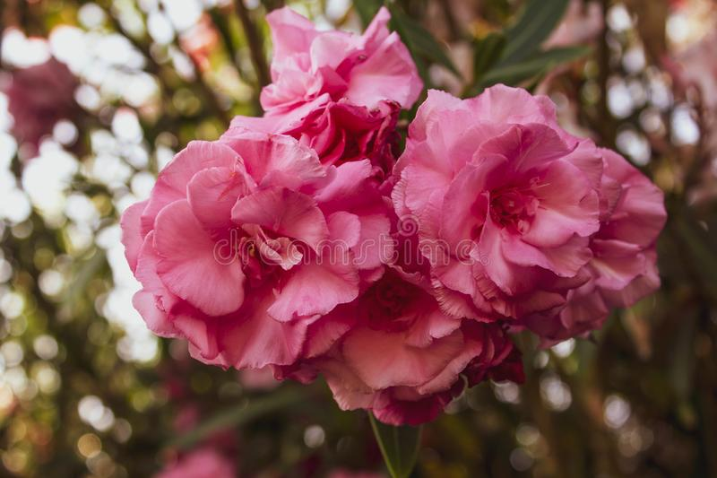 Красивые розовые экзотические цветки с сочными зелеными листьями на предпосылке листвы Чувствительный конец-вверх куста роз стоковая фотография