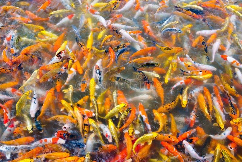 Красивые рыбы koi карпа плавая в пруде в саде стоковая фотография