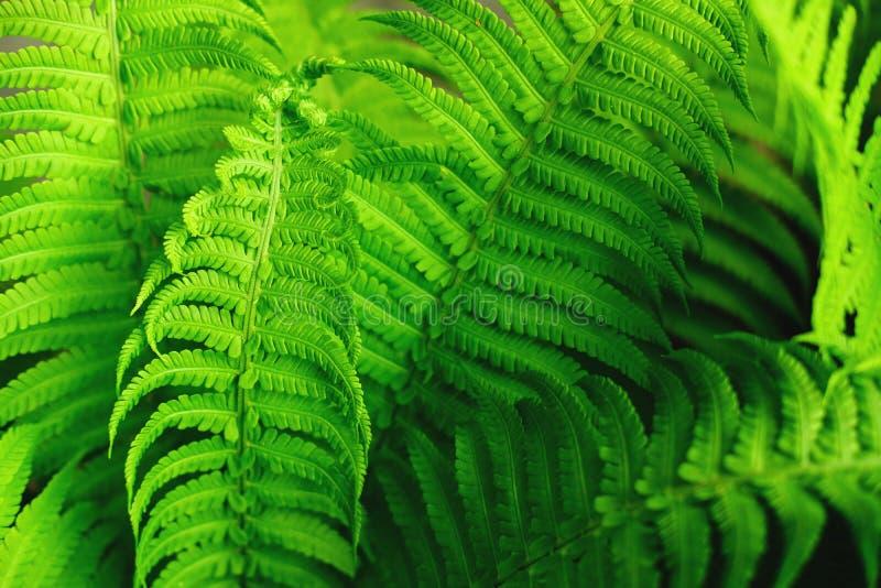 Красивые свежие зеленые листья папоротников стоковое фото rf