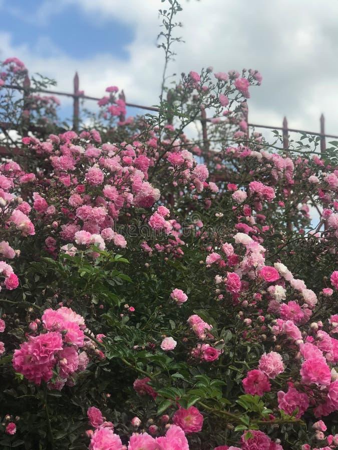 Красивые свежие розы в природе Естественная предпосылка, большое цветорасположение роз на кусте сада Конец-вверх куста красного ц стоковое фото rf