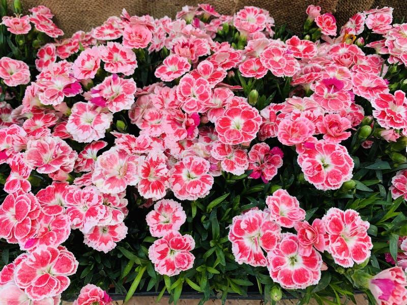 Красивые свежие цвести цветник и текстура в розовых цветах с взглядом сверху гвоздик, плоским положением стоковое изображение rf