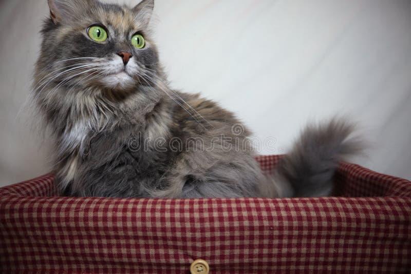 Красивые серые пушистые остатки кота в корзине на белой предпосылке стоковая фотография