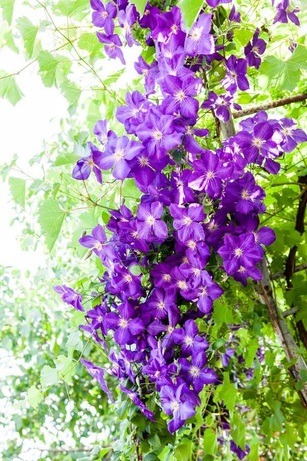 Красивые, сине- цветки фиолетового clematis стоковая фотография rf
