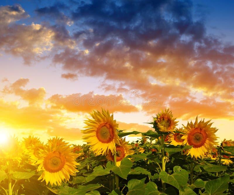 Красивые солнцецветы на поле стоковые изображения rf