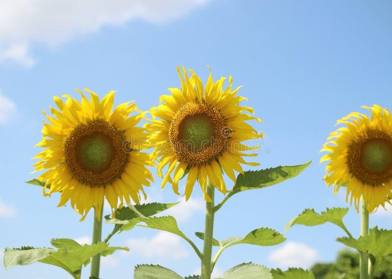 Красивые солнцецветы против текстуры предпосылки голубого неба стоковое фото rf