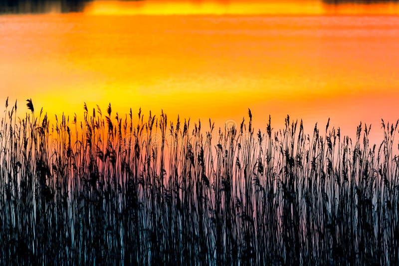 Красивые тростники на береге озера на заходе солнца стоковые изображения rf