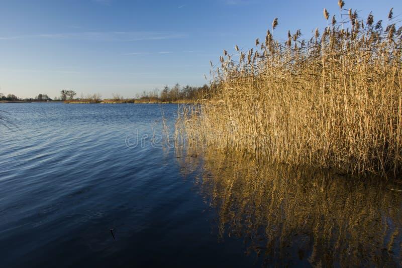 Красивые тростники растя в голубом озере стоковая фотография