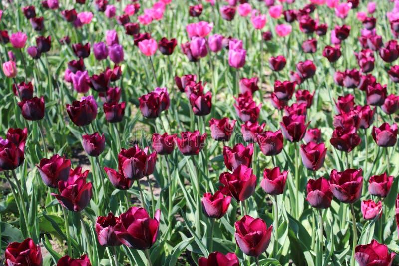 Красивые тюльпаны в саде стоковое фото rf