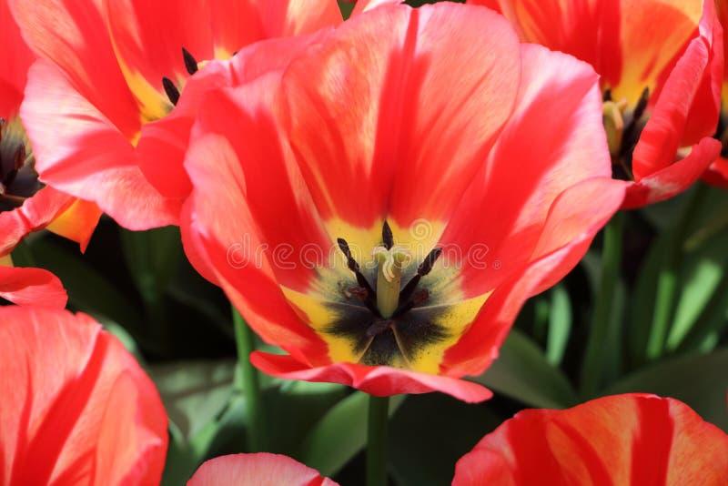 Красивые тюльпаны от конца Голландии вверх стоковые изображения rf
