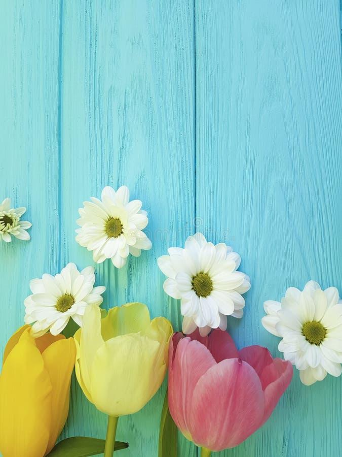 Красивые тюльпаны торжества хризантемы свежего приправляют день матерей приветствию предпосылки, на голубой деревянной предпосылк стоковые фотографии rf