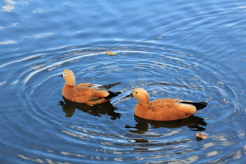 Красивые утки плавают красиво в красивом открытом море стоковое фото rf