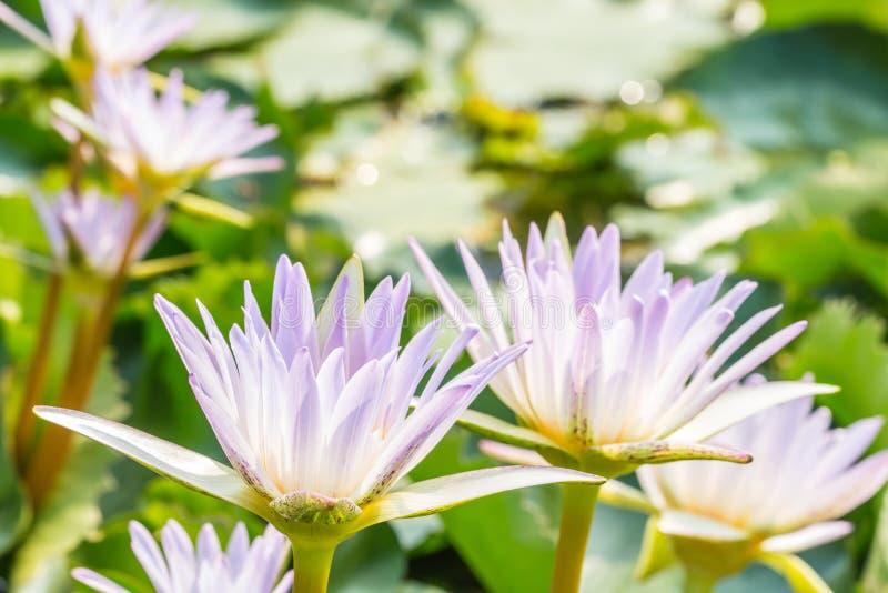 Красивые фиолетовые лилия воды или цветок лотоса стоковое фото rf