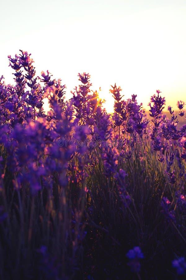 Красивые фиолетовые поля лаванды в свете захода солнца стоковые изображения rf