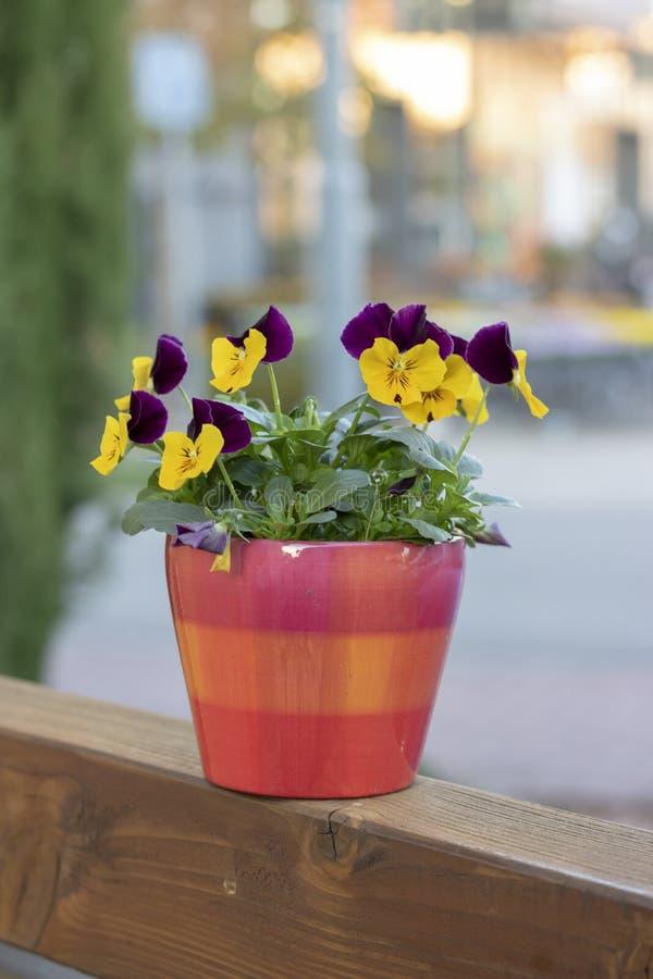 Красивые фиолетовые цветки в оранжевом баке стоковое изображение rf