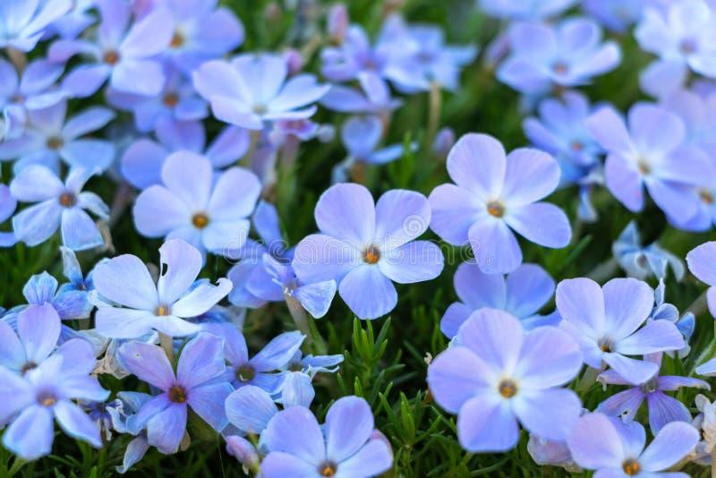Красивые фиолетовые цветки для предпосылки стоковые изображения