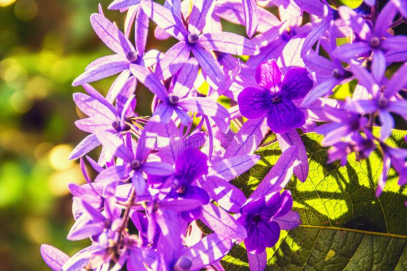 Красивые фиолетовые цветки лозы венка стоковые изображения rf