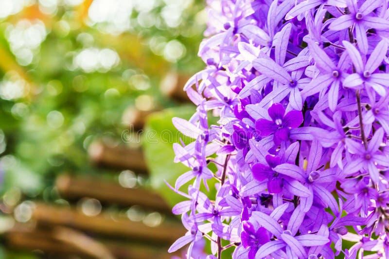 Красивые фиолетовые цветки лозы венка стоковые фото