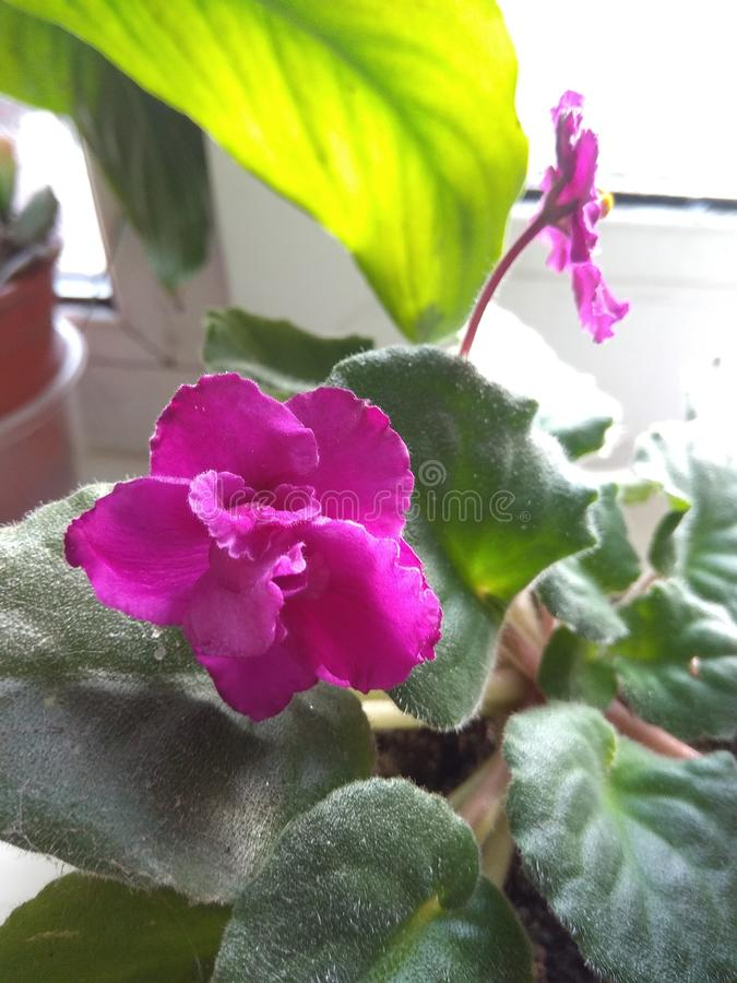 красивые фиолетовые цветы цветут на подоконнике в доме возле света стоковое фото rf