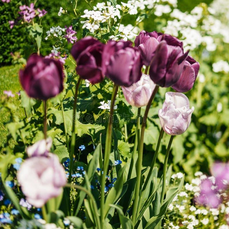 Красивые фиолетовые и розовые тюльпаны в наклон-переносе сада стоковые фотографии rf