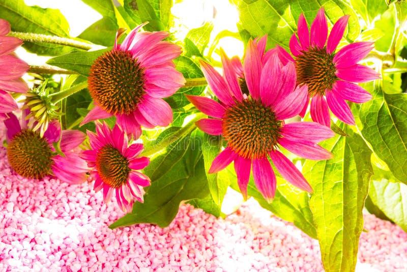 Красивые фиолетовые цветки эхинацеи стоковые изображения