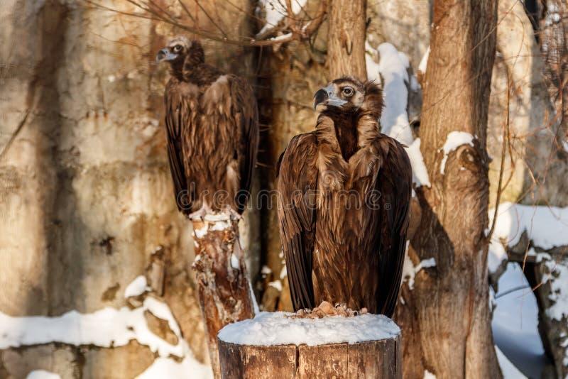 Красивые хищники сидят на пне в снеге стоковое фото