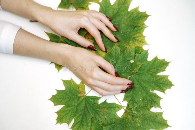 Красивые хорошо выхоленные женские руки на белой предпосылке, зеленые листья стоковое фото rf