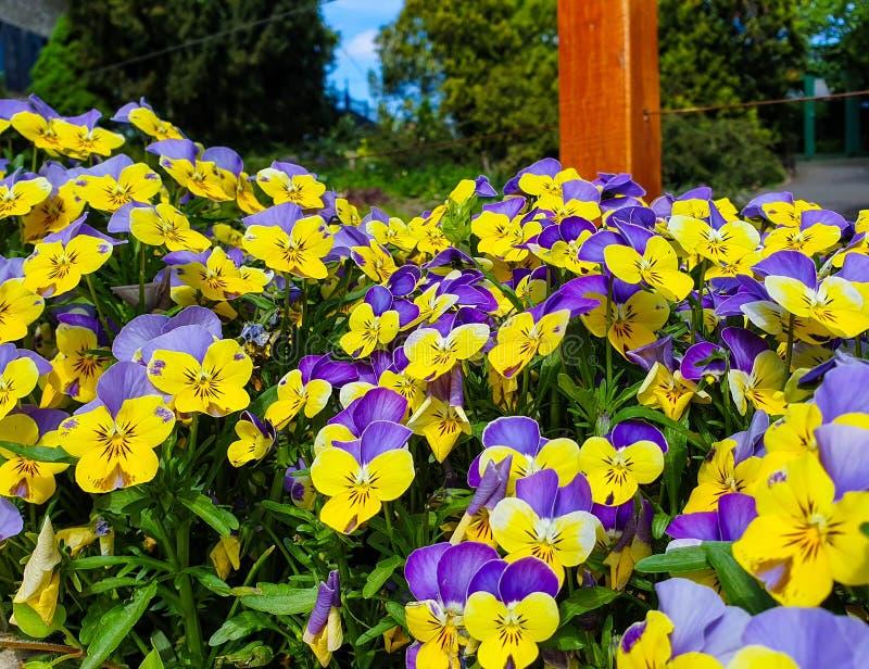Красивые цвета 2 pansies цветков с фиолетовыми и желтыми лепестками стоковое изображение rf