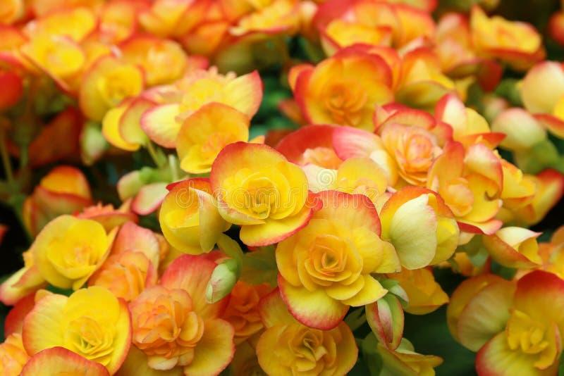 красивые цветки бегонии для картины и предпосылки стоковые изображения