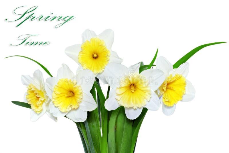 Красивые цветки весны: желт-белый narcissus (Daffodil) стоковая фотография rf