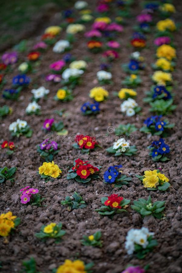 Красивые цветки в других цветах, малый сад в городе стоковые фотографии rf