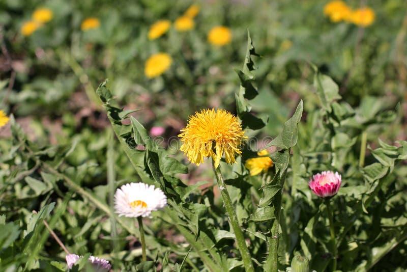 Красивые цветки в саде Желтые одуванчики стоковые фото