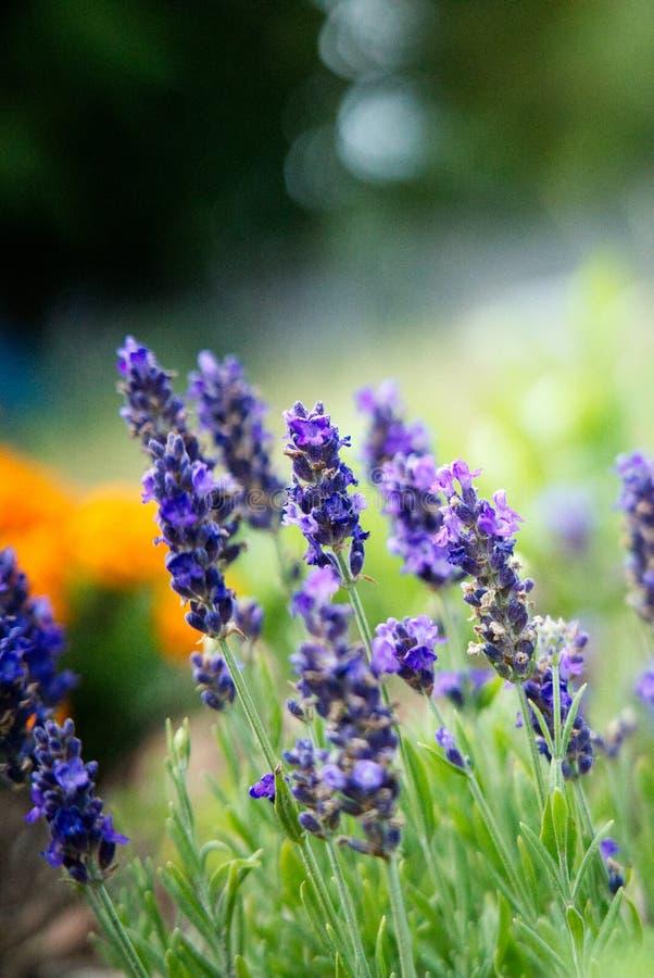 Красивые цветки лаванды в саде стоковые фото