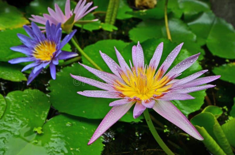 Красивые цветки лилии воды с зелеными листьями стоковые изображения rf