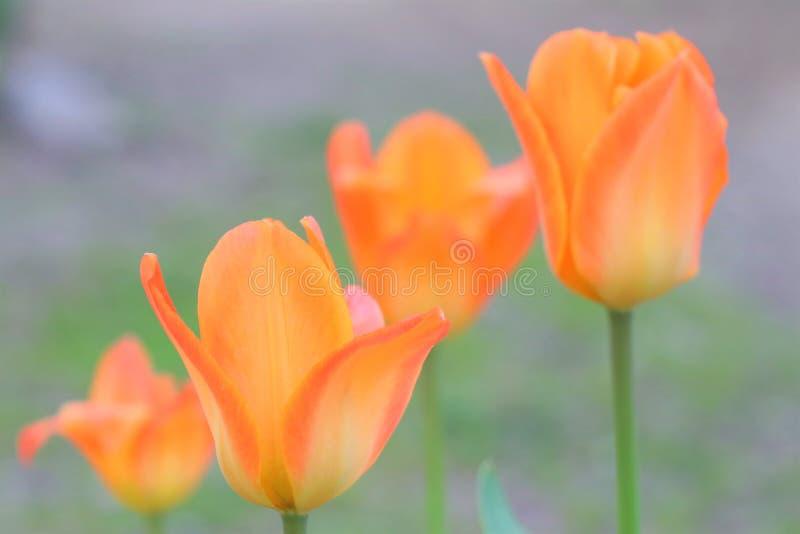 Красивые цветки на предпосылке бумаги цвета Желтые тюльпаны стоковое изображение