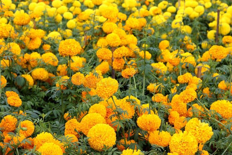 Красивые цветки ноготк в саде стоковое изображение rf