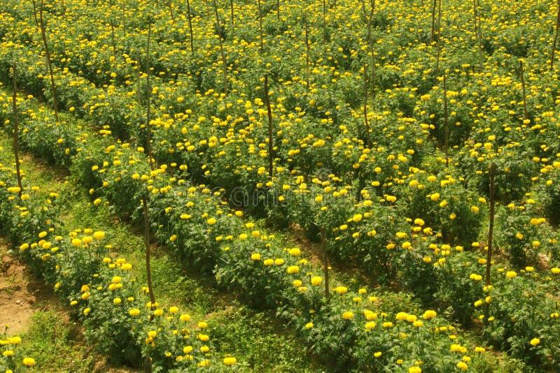 Красивые цветки ноготк в саде стоковое фото rf