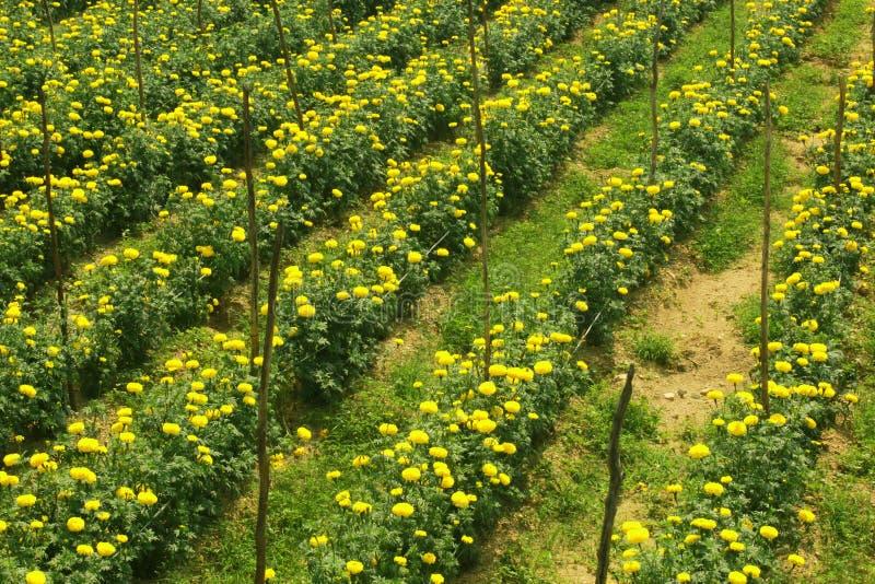 Красивые цветки ноготк в саде стоковые изображения rf