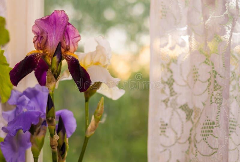 Красивые цветки радужки в выравниваясь солнечном свете стоковая фотография rf