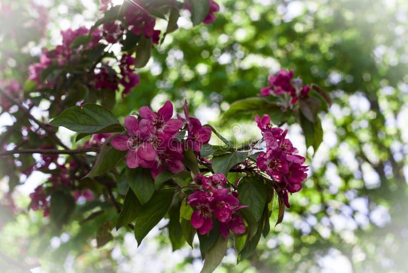Красивые цветки розового конца вишни вверх стоковые изображения rf