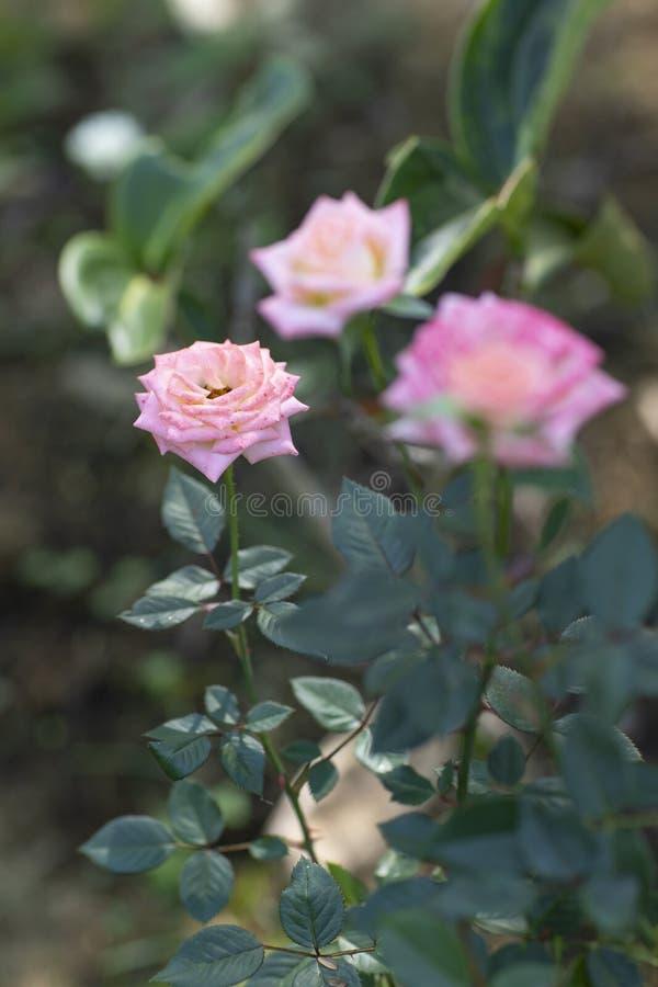 Красивые цветки, розовые розы в саде стоковая фотография