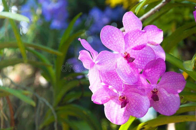 Красивые цветки фиолетовый гибридный Vanda орхидеи зацветают стоковые фотографии rf
