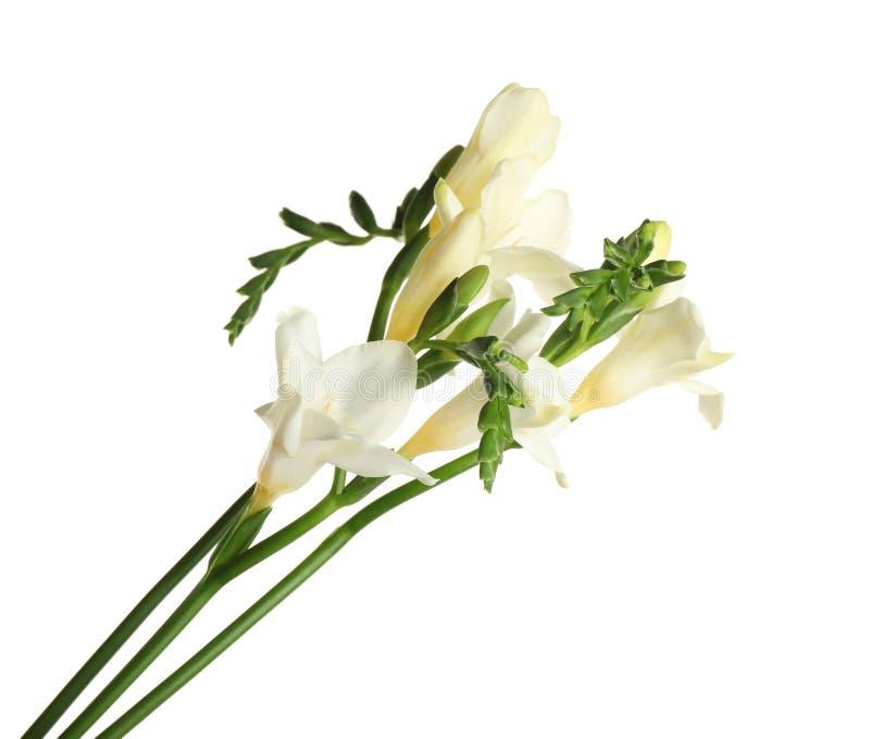 Красивые цветки фрезии изолированы стоковые изображения rf