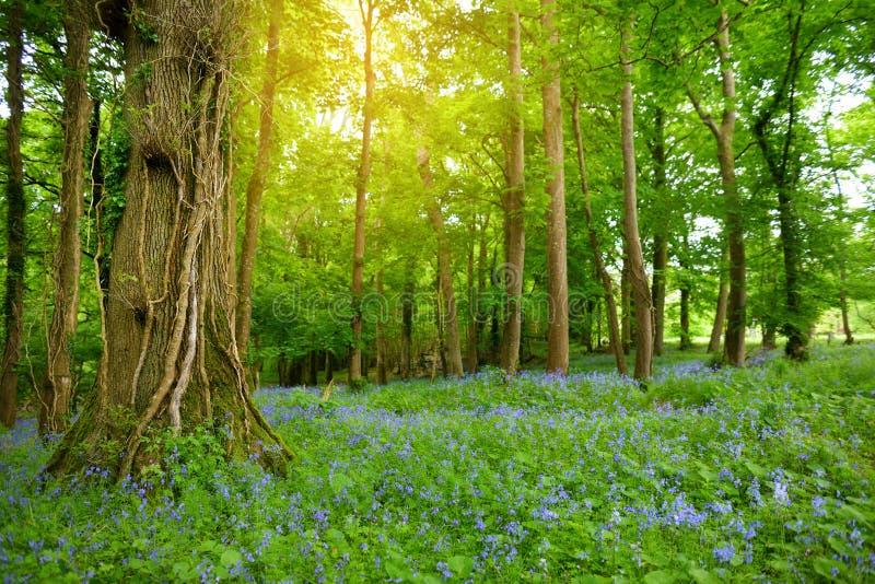 Красивые цветки bluebell цвести в садах рощи Ducketts, графства Carlow, Ирландии стоковая фотография rf