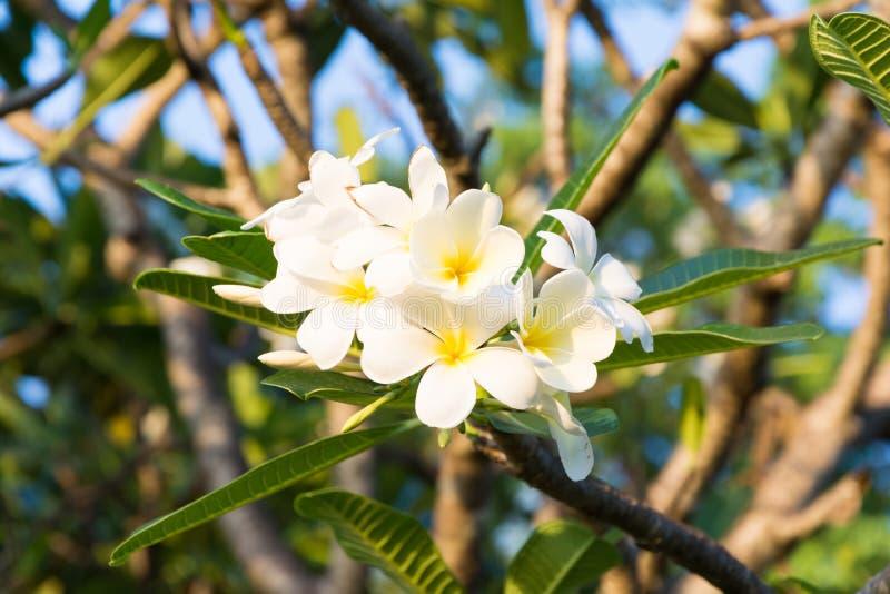 Красивые цветки plumeria стоковое фото